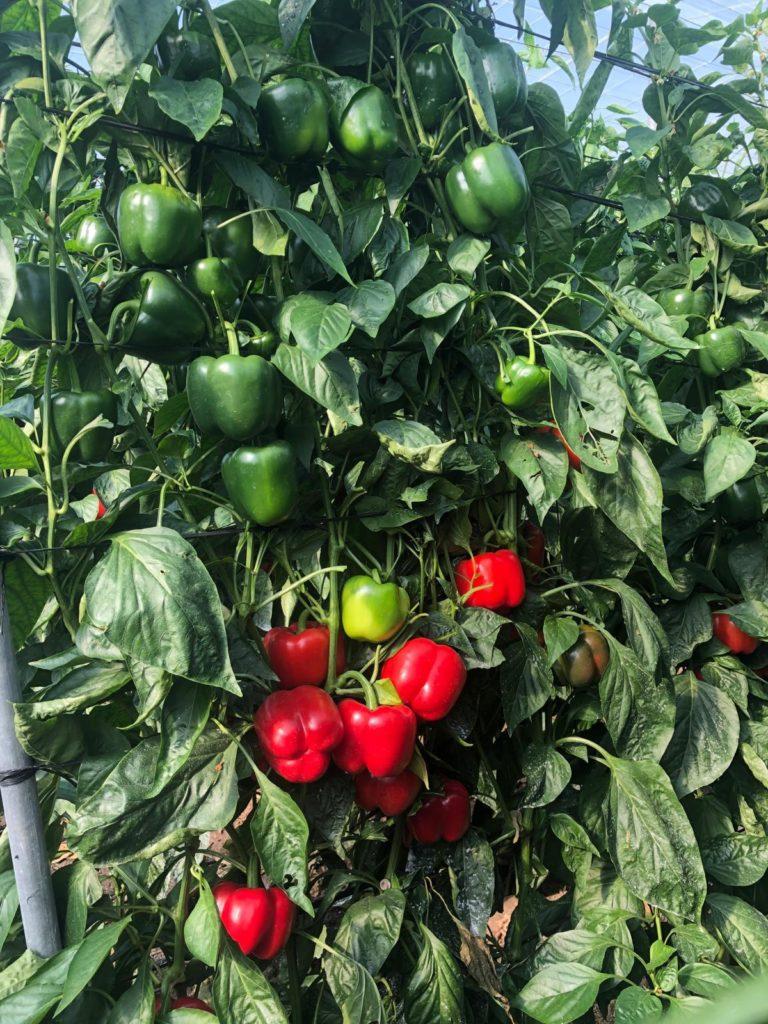 Pimiento california rojo variedad Tadeo